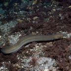 Nya mål behövs för att rädda ålen