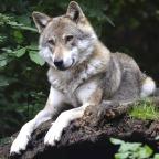 Är vargen mer än en rovdjursfråga?