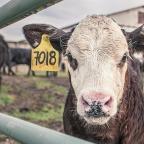 Dags att förbjuda export av levande djur?
