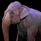 Trycket för att förbjuda vilda djur på cirkus ökar